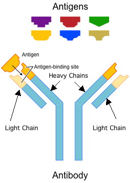 Light Chains Are Much Smaller Than The Heavy Chains, Hence Their Name.  These Immunoglobulin Proteins Are Specific To Particular Antigens.